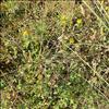 Sand-Frøstjerne (Thalictrum minus ssp. arenarium)