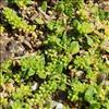 Glat Brudurt (Herniaria glabra)