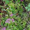 Rød Sankthansurt (Hylotelephium telephium ssp. telephium)