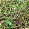 Kirtel-Øjentrøst (Euphrasia stricta var. brevipila)