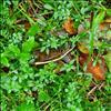 Kær-Snerre (Galium palustre ssp. palustre)