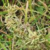 Sump-Evighedsblomst (Gnaphalium uliginosum)
