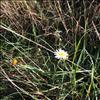 Hvid Okseøje s.l. (Leucanthemum vulgare s.l.)