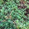 Lyng-Snerre (Galium saxatile)