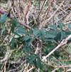 Fliget Brombær (Rubus laciniatus)