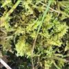 Kalk-Blødmos (Ctenidium molluscum)