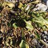 Strand-Bede (Beta vulgaris ssp. maritima)