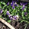 Viol sp. (Viola sp.)