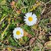 Tusindfryd (Bellis perennis)