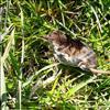 Spidsmus ubest. (Soricidae indet.)