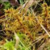 Kær-Gyldenmos (Helodium blandowii)