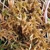 Krumbladet Tørvemos (Sphagnum contortum)