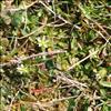 Femhannet Hønsetarm (Cerastium semidecandrum)