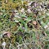 Mark-Frytle (Luzula campestris)