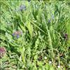 Krumhals (Anchusa arvensis)