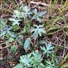 Bidende Ranunkel (Ranunculus acris)