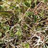 Bredbladet Timian (Thymus pulegioides)