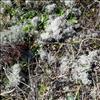 Rensdyrlav sp. (Cladonia L spp.)