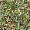 Ager-Stenfrø (Lithospermum arvense)