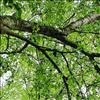 Hekse-Sækdug (Taphrina betulina)