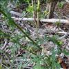 Skov-Brandbæger (Senecio sylvaticus)
