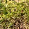 Stor Kransemos (Rhytidiadelphus triquetrus)