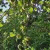 Sød Æble (Malus domestica)