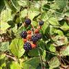 Almindelig Brombær (Rubus plicatus)