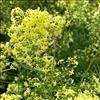 Hvidgul Snerre (Galium x pomeranicum)