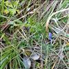 Spæd Mælkeurt (Polygala serpyllifolia)