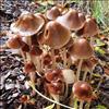 Svamp ubest. (Fungi indet.)