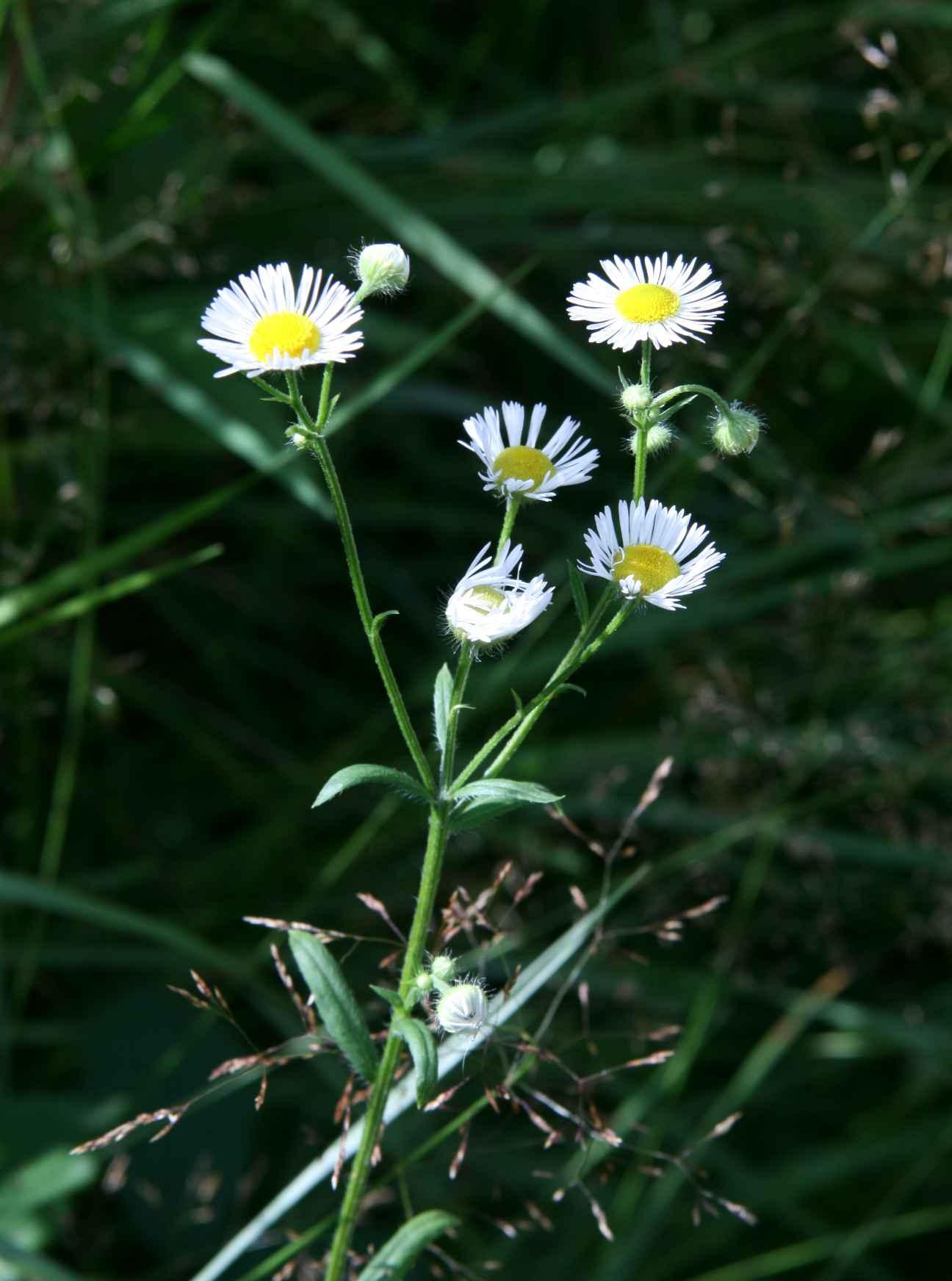 Foto/billede af Smalstråle (Erigeron annuus)