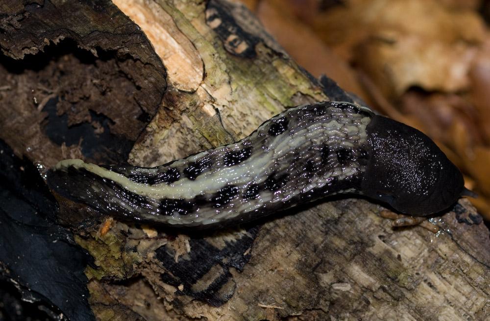 Foto/billede af Skovpantersnegl (Limax cinereo-niger)