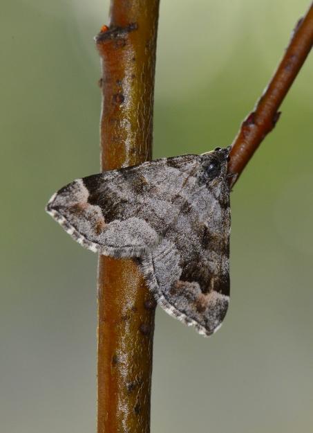 Foto/billede af Hvidgrå Mosemåler (Carsia sororiata)