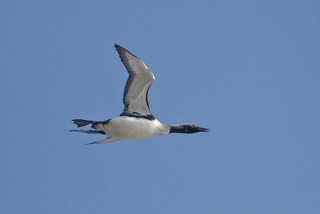 Foto/billede af Sortstrubet Lom (Gavia arctica)