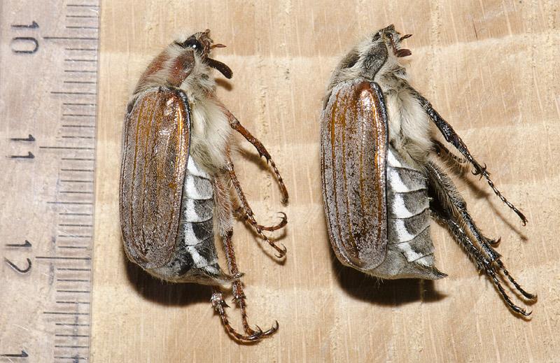 Sortrandet Oldenborre (Melolontha hippocastani)