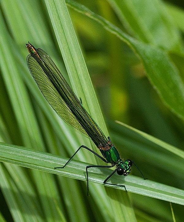 Foto/billede af Blåbåndet Pragtvandnymfe (Calopteryx splendens)