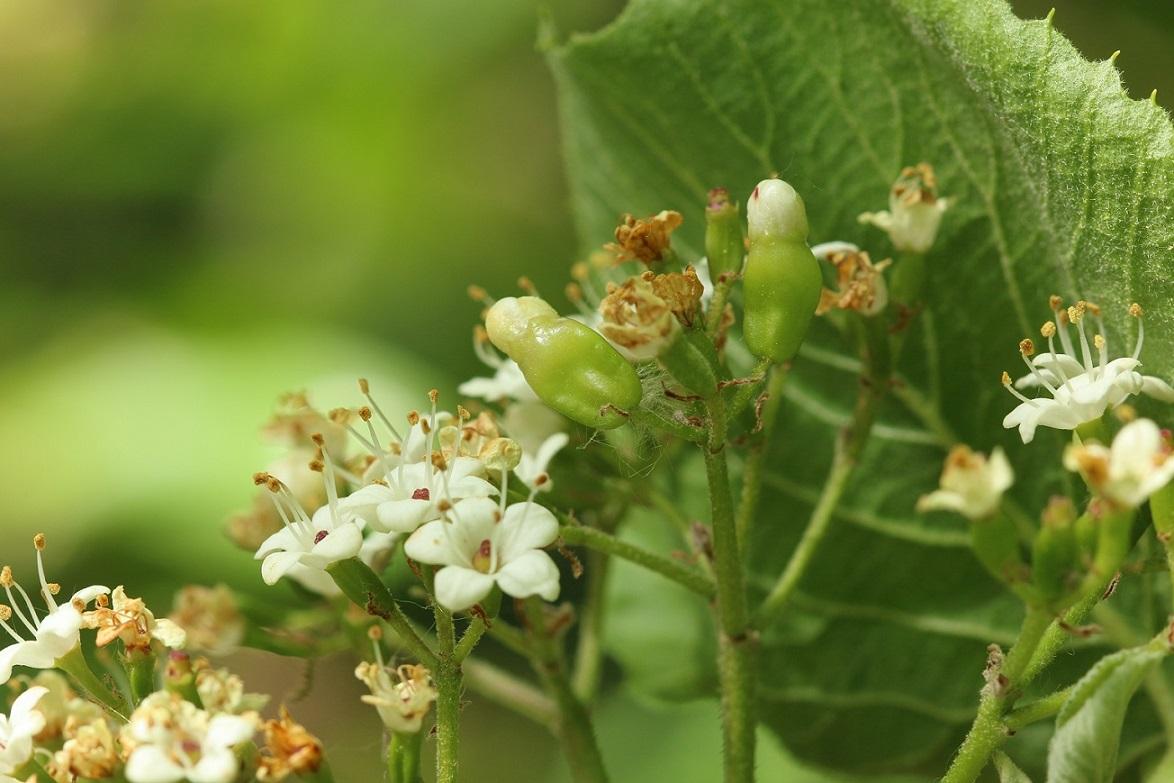 Contarinia viburnorum