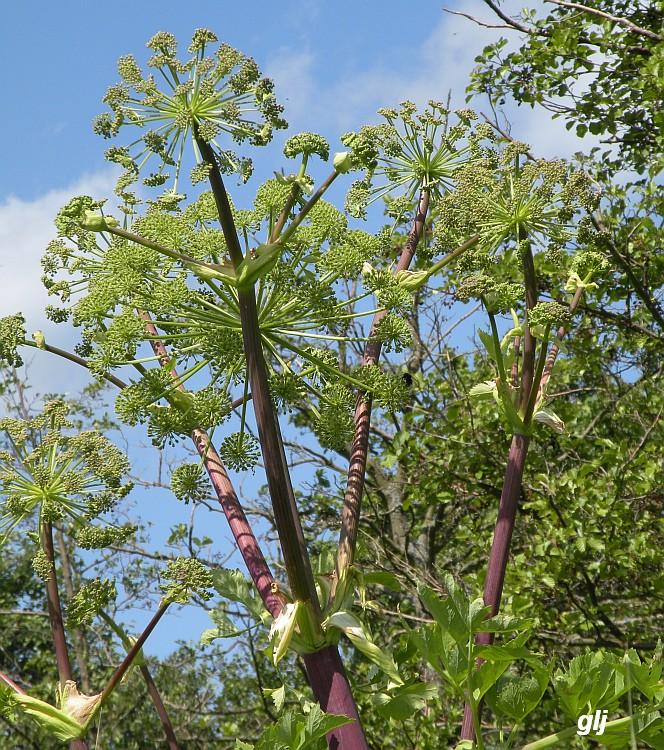 Strand-Kvan (Angelica archangelica ssp. litoralis)
