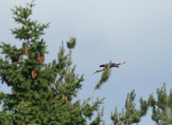 Sort Stork (Ciconia nigra)