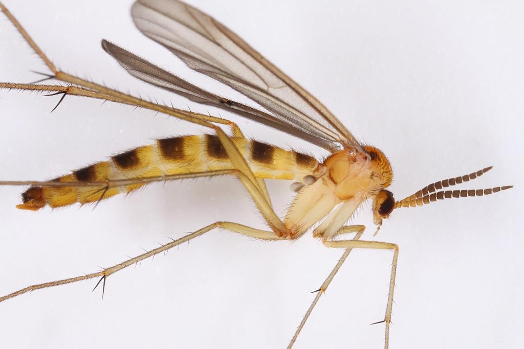 Symmerus annulatus (Symmerus annulatus)