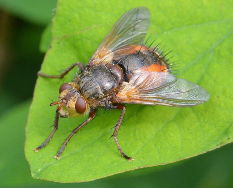 Mellemfluen Oskar (Tachina fera)