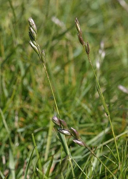 Foto/billede af Tandbælg (Danthonia decumbens)