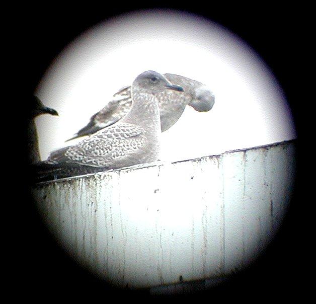 Foto/billede af Inuitmåge (Larus thayeri)
