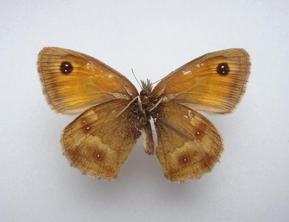 Foto/billede af Buskrandøje (Pyronia tithonus)