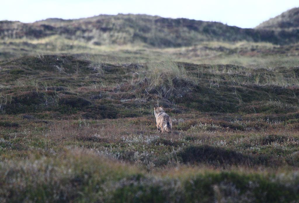 Foto/billede af Ulv (Canis lupus)